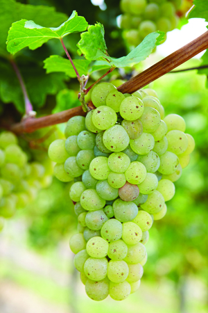bigstock-Ripe-Riesling-white-vine-grape-41545891