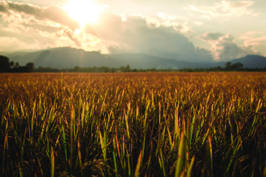Rice Field With Mountain Sunset Background