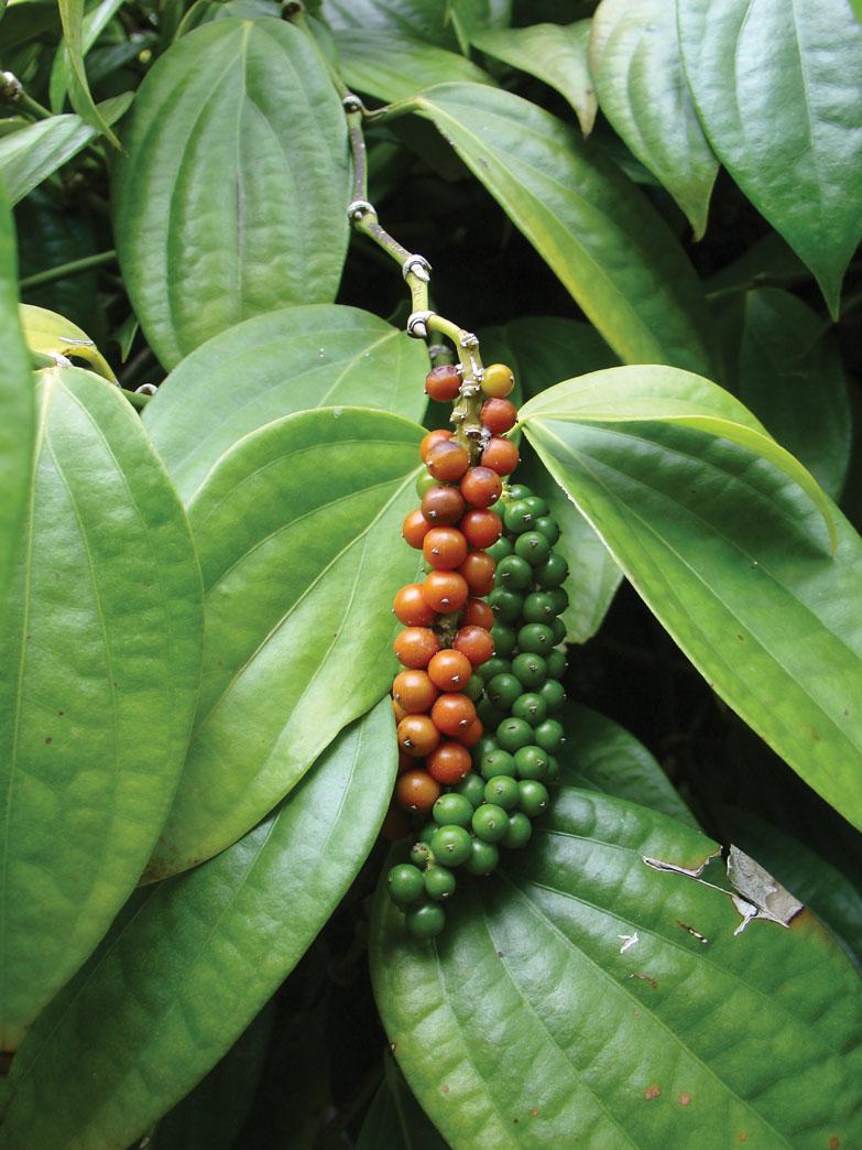 Piper-Nigrum-Fruits