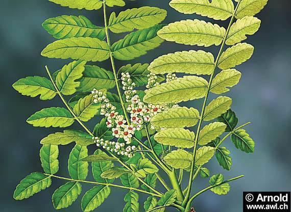 boswellia-serrate